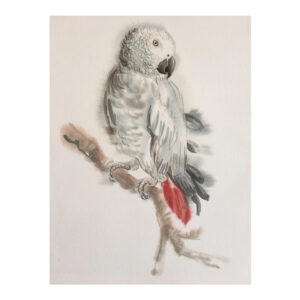 African Grey Parrott - Watercolour